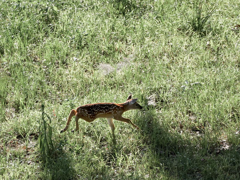 White-Tailed Deer Fawn on Paynes Prairie