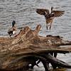 Blue-Headed Mallard Ducks ?