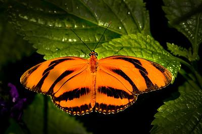 Orange butterfly closeup #3