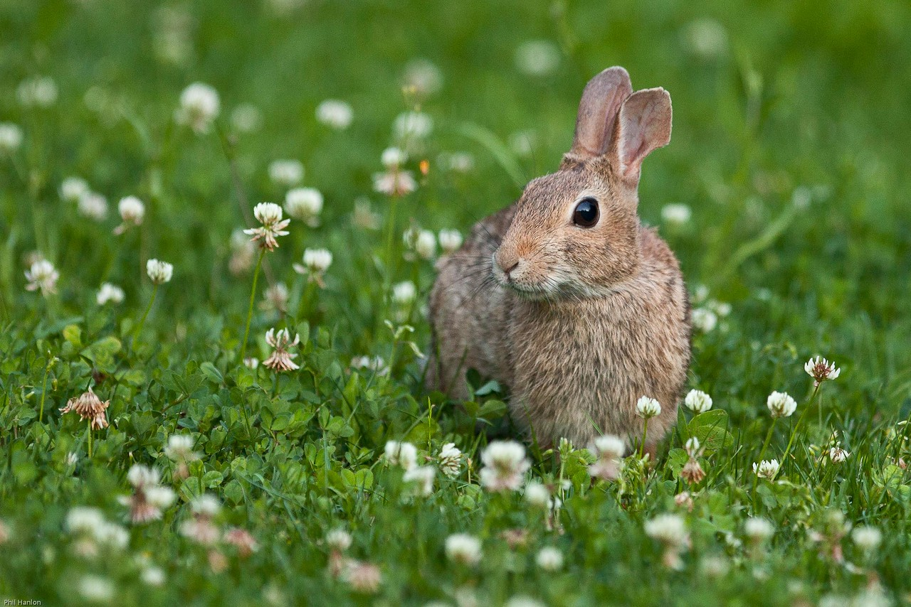 Cottontail #2