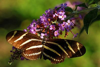 Zebra Longwing - Alfred B. Maclay Gardens