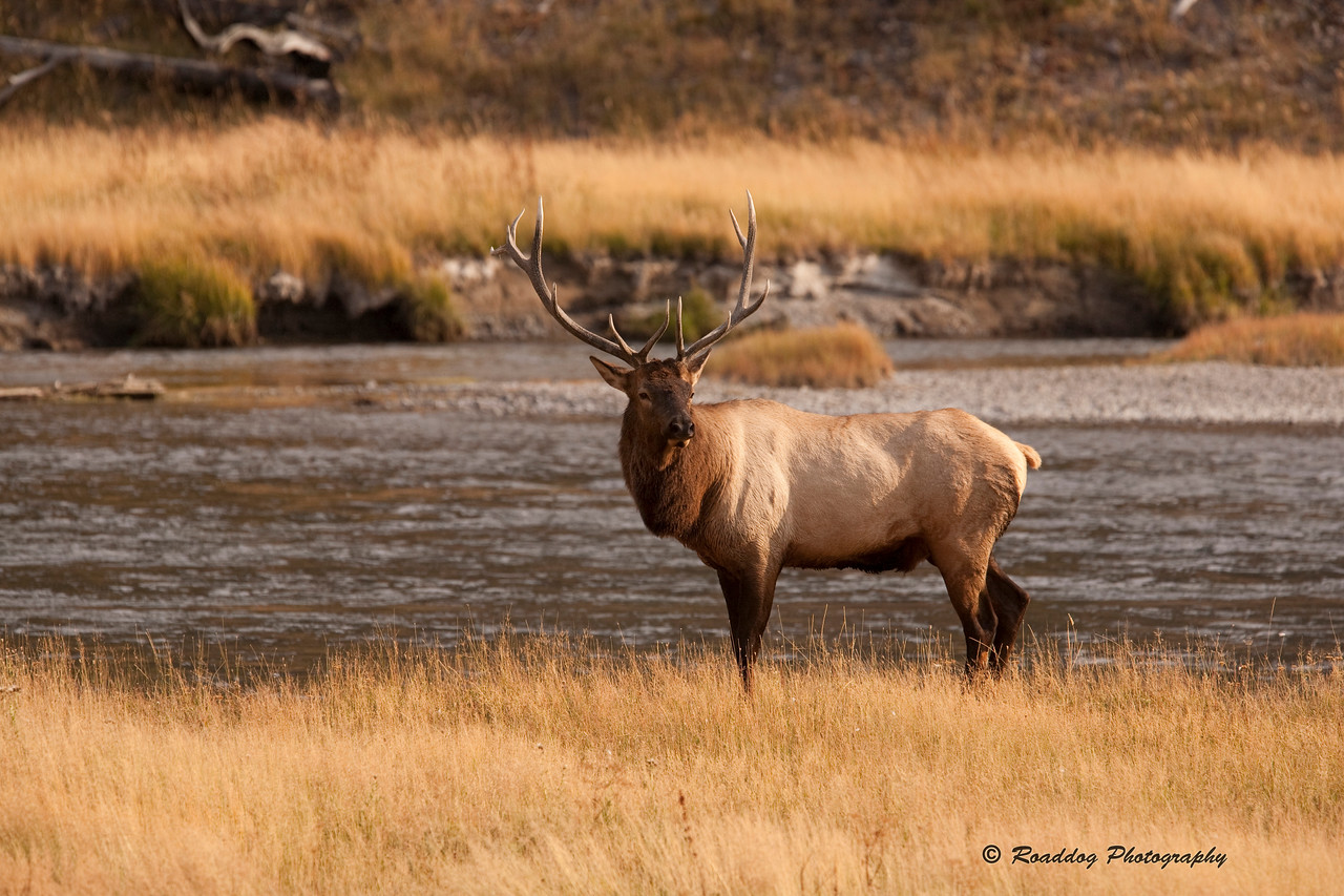 Bull Elk on the Madison.