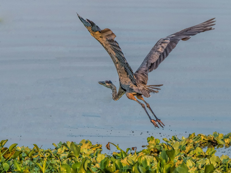 Great Blue Heron Putnam County