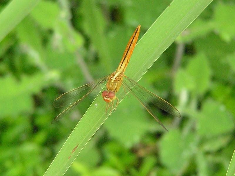 dragon fly bali aug 2010