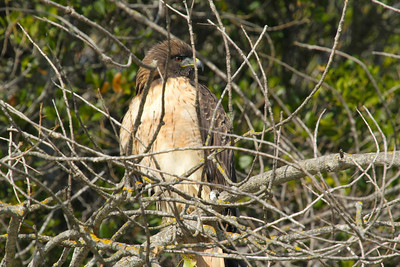Juvenile Red-tailed Hawk at Lake Chabot