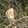 Juvenile Red-tailed Hawk at Lake Chabot