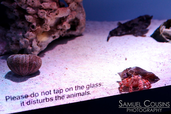 A hermit crab at the New England Aquarium. In the back (right corner) is a batfish.  The crab came up and tapped on the glass at me. I was disturbed.