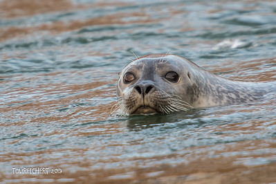 GREY SEAL - SHINNECOCK CANAL