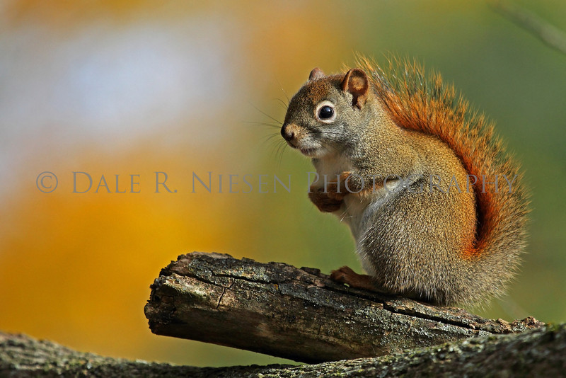 American Red Squirrel photographed on Mackinac Island, Michigan