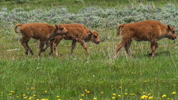 "Baby Bison - ""red dogs"" Baby Bison - ""red dogs"""