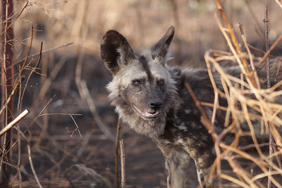 African hunting dog (aka African wild dog or painted dog) South Africa