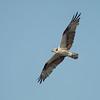 Soaring Osprey at Putnam County