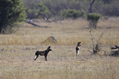 African hunting dogs stalking impala Linyanti Swamp, Botswana