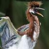 Tri Colored Heron chick