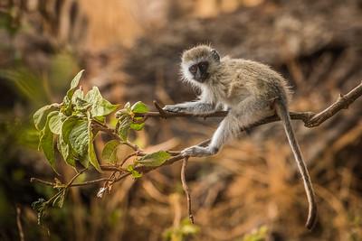 Vervet monkey 7663