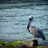 Brown Pelican at Sebastian Inlet