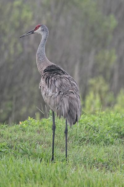 Sandhill Crane  in Paynes Prairie Preserve