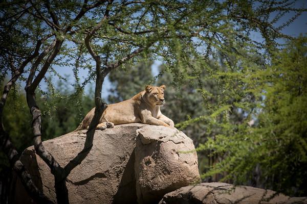 Lion Vantage
