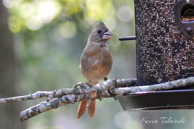 KJT_2010-09-05_ 025_002 Northern Cardinal