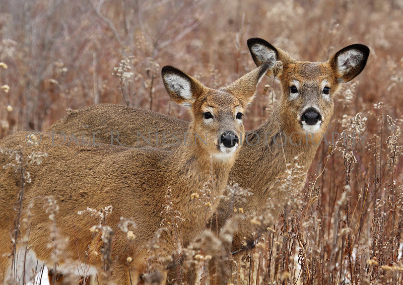 The Yearlings - Whitetail deer at Lake Erie Metor Park, Brownstown Twp., Michigan.