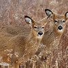 The Yearlings - Whitetail deer at Lake Erie Metor Park, Brownstown Twp., Michigan.