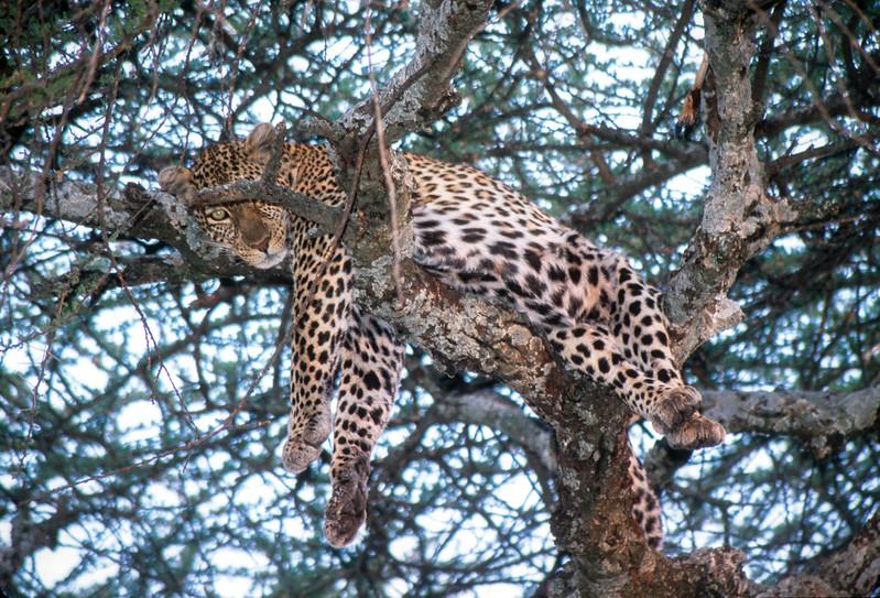 Leopard. Serengeti, Tanzania.