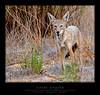 Coyote6626-wf