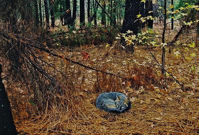 Sleeping Fox. Taken in South Carolina, York County. Shot with film.