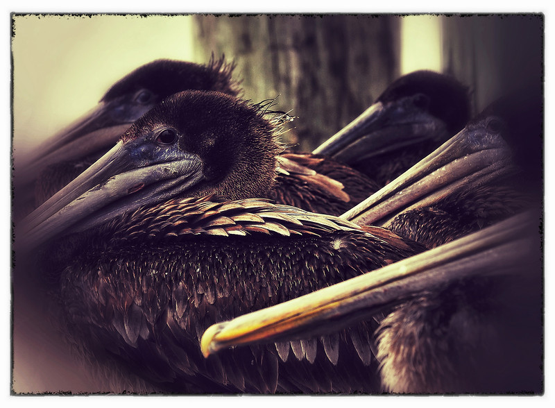 The Louisiana state bird, the Brown Pelican and a little bit of artistic effect.