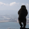 A Barbary Macaque's View of Gibraltar