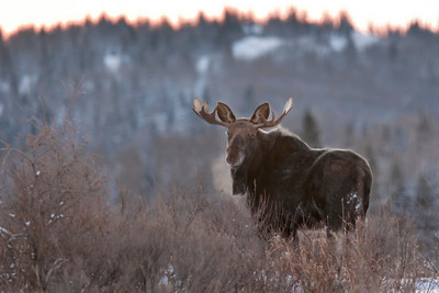 Bull moose, Sibbald Creek Road, Kananaskis Country