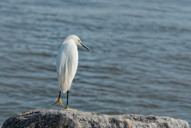 Snowy Egret Takes a Step