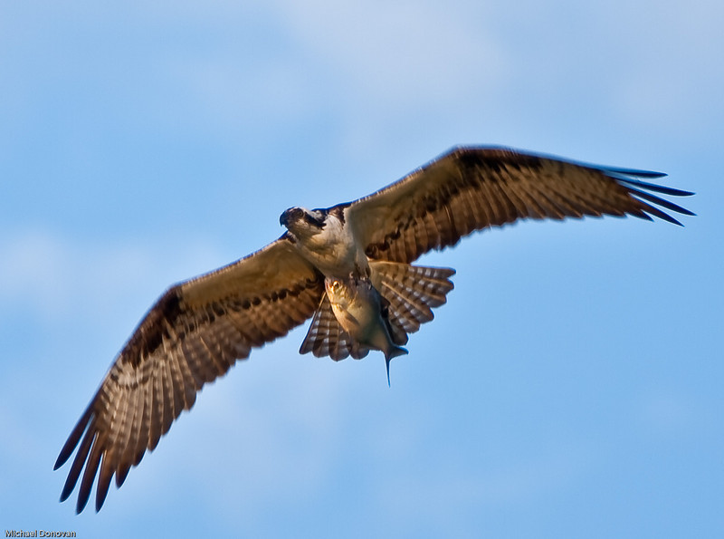 OspreY with his breakfast