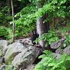 Bear cub in Jackson, NH