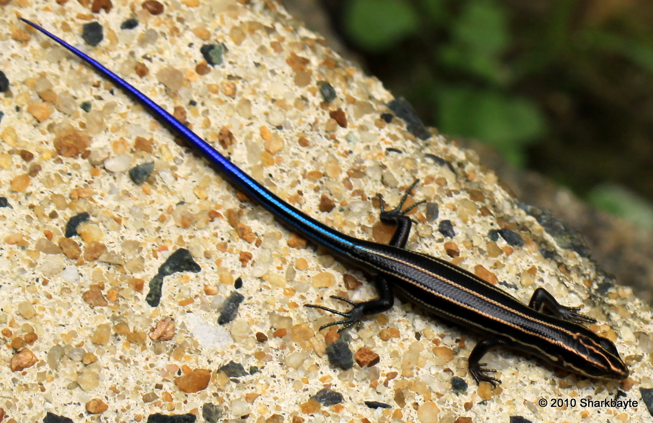 Day 190/365-Juvenile Five-lined Skink (Plestiodon fasciatus, formerly Eumeces fasciatus) #365Project @sharkbayte