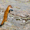 Black Tailed Weasel