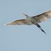 Great Egret soaring over Putnam County