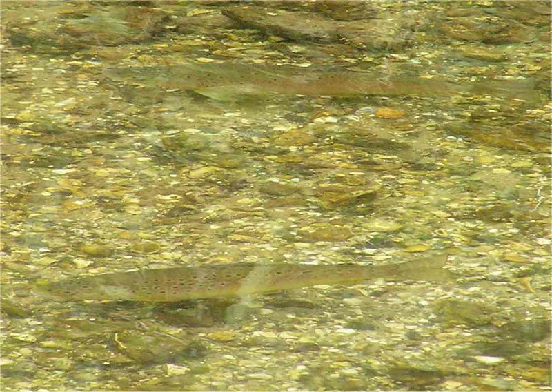 hungerford_trout_June2005