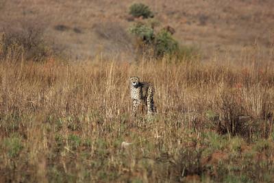 Cheetah Gauteng, South Africa