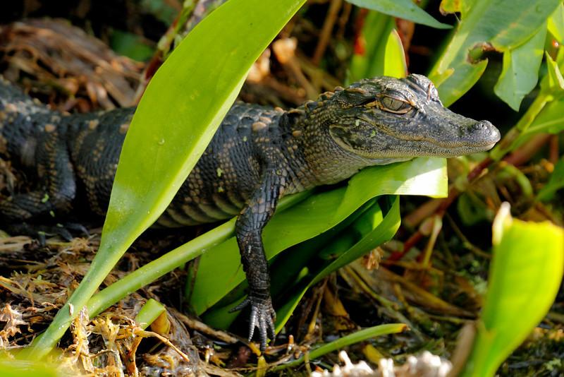 American Alligator (Juvenile) - Edward Ball Wakulla Spings State Park, Florida