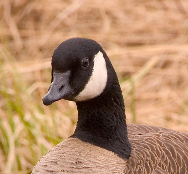 This Canadian Goose was hanging out near in a pond near Baxter Bog when I photographed in late May 2006.