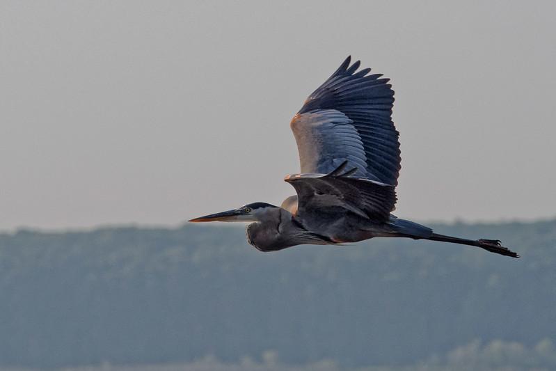 Great Blue Heron over Newnan's Lake