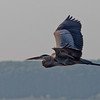 Great Blue Heron over Newnan's Lake