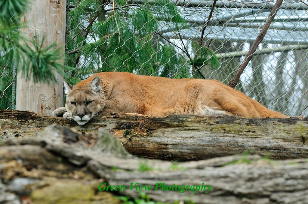 Cougar Nap Time