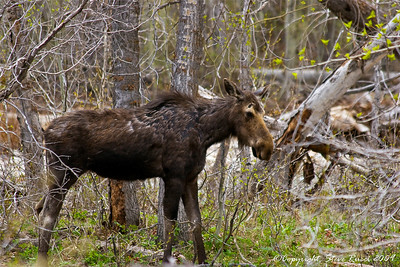 This female moose was foraging near a stream with her calf - Grand Teton National Park