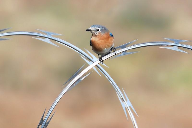 Female Bluebird perched on razor wire - Charlotte Airport -December 6, 2013