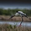 Wood Stork at Merritt Island