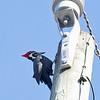 Jacksonville Beach Pileated Woodpecker