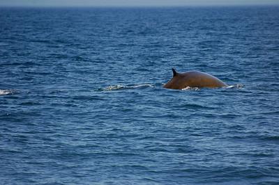 Fin Whale. Taken in Maine, near Bar Harbor.