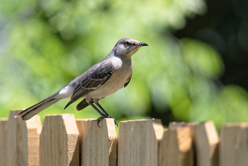 Young Northern Mockingbird